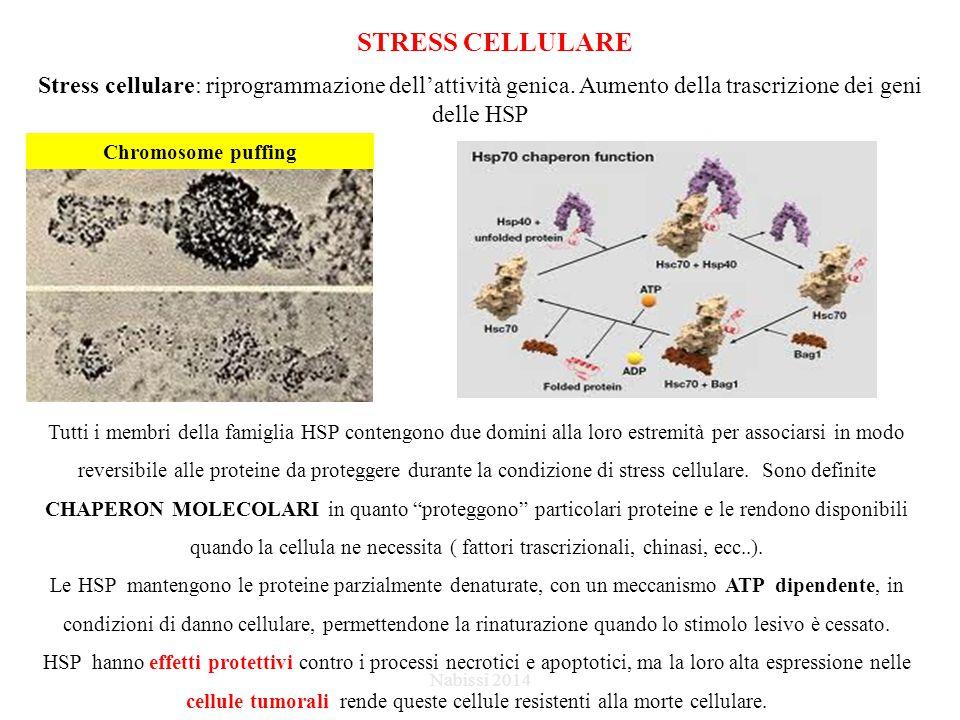 STRESS CELLULARE Stress cellulare: riprogrammazione dell'attività genica. Aumento della trascrizione dei geni delle HSP.