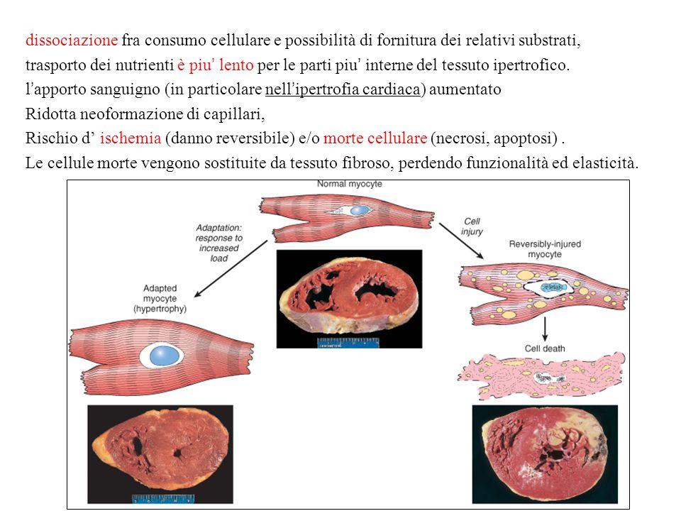 dissociazione fra consumo cellulare e possibilità di fornitura dei relativi substrati, trasporto dei nutrienti è piu' lento per le parti piu' interne del tessuto ipertrofico. l'apporto sanguigno (in particolare nell'ipertrofia cardiaca) aumentato Ridotta neoformazione di capillari, Rischio d' ischemia (danno reversibile) e/o morte cellulare (necrosi, apoptosi) . Le cellule morte vengono sostituite da tessuto fibroso, perdendo funzionalità ed elasticità.