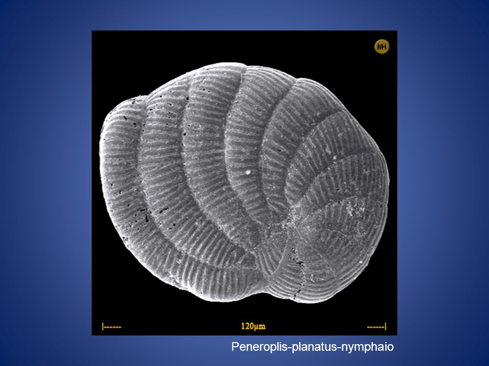 Peneroplis-planatus-nymphaio