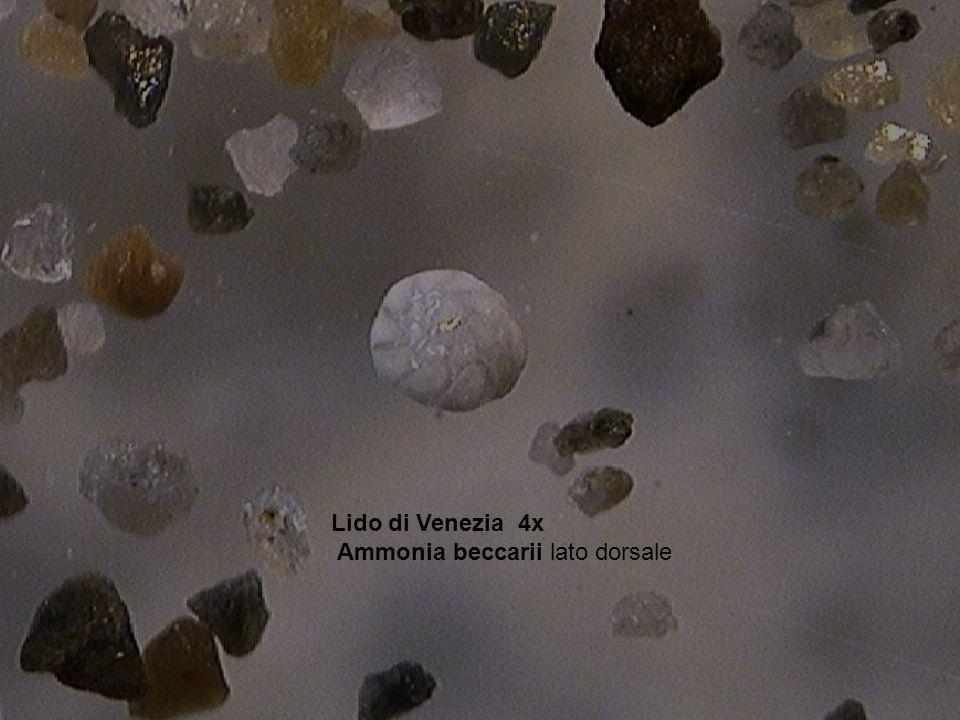 Lido di Venezia 4x Ammonia beccarii lato dorsale