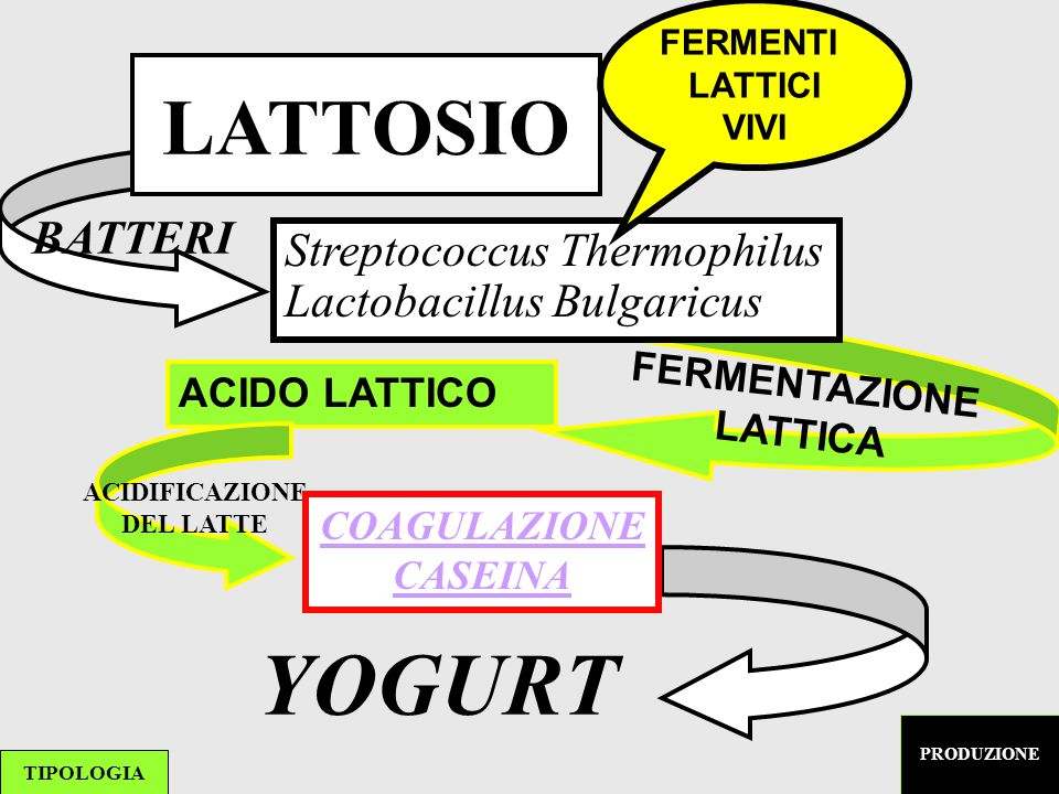 YOGURT LATTOSIO BATTERI Streptococcus Thermophilus