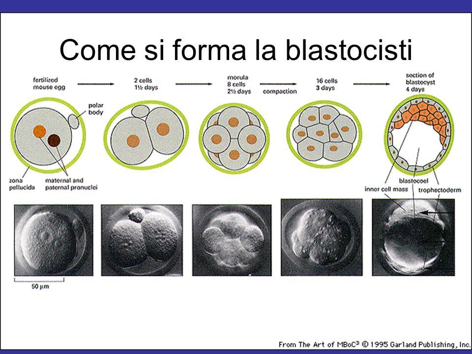 Come si forma la blastocisti