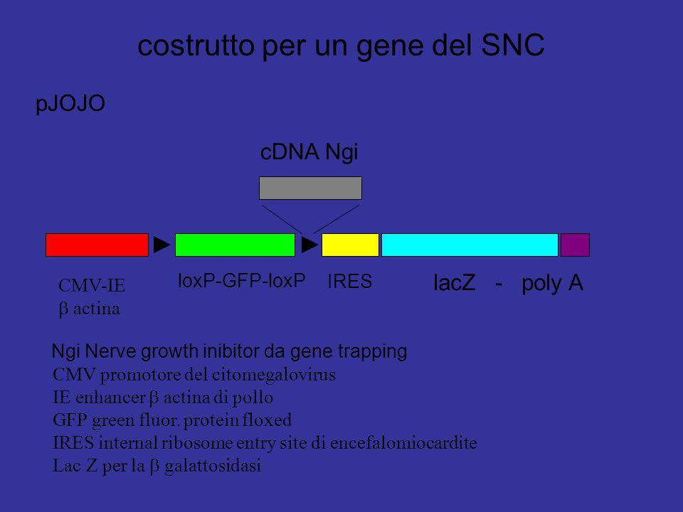 costrutto per un gene del SNC