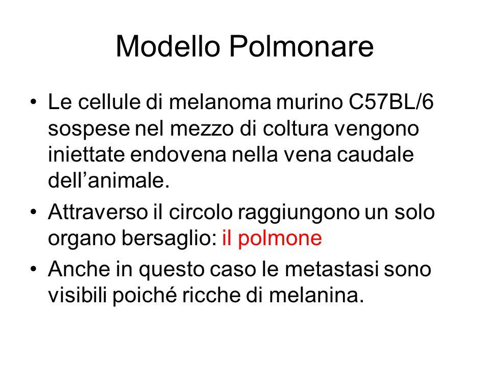 Modello Polmonare Le cellule di melanoma murino C57BL/6 sospese nel mezzo di coltura vengono iniettate endovena nella vena caudale dell'animale.