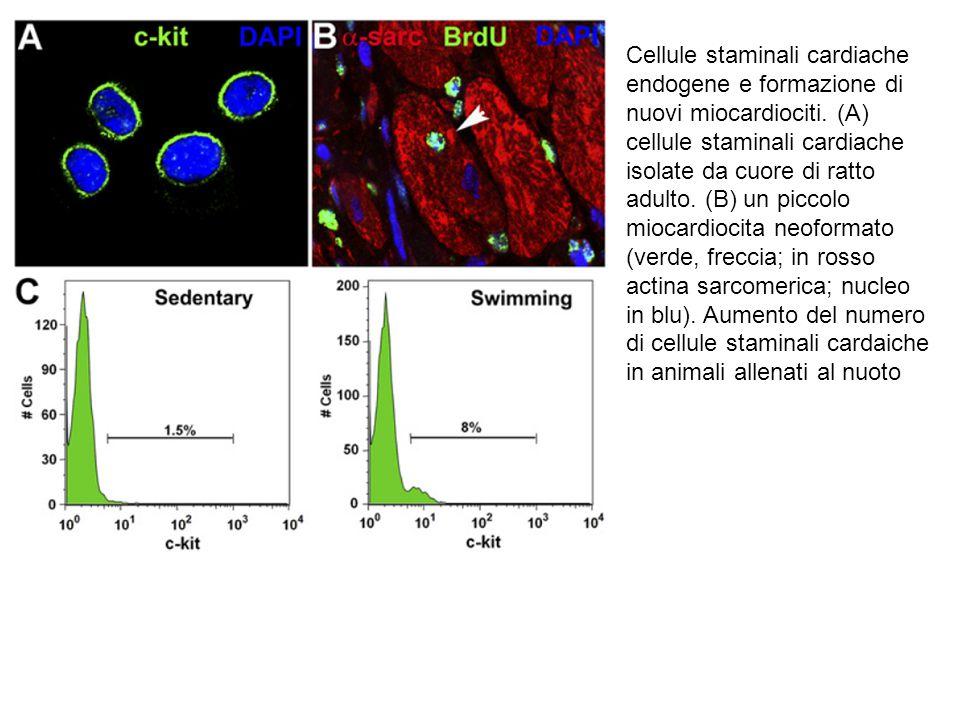 Cellule staminali cardiache endogene e formazione di nuovi miocardiociti.
