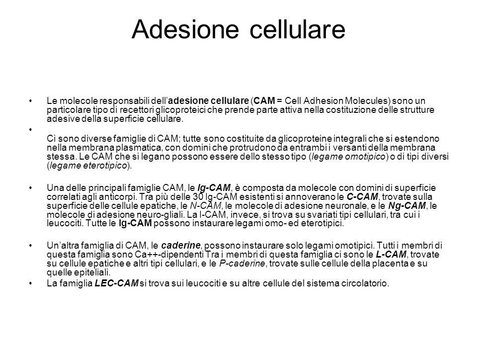 Adesione cellulare