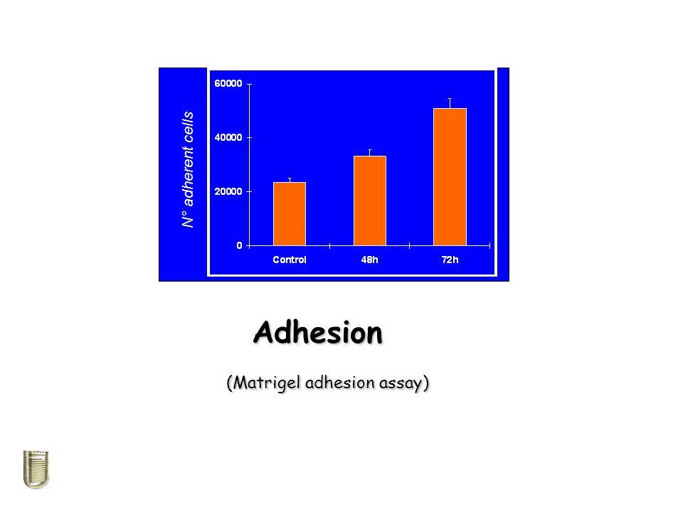 Adhesion (Matrigel adhesion assay)