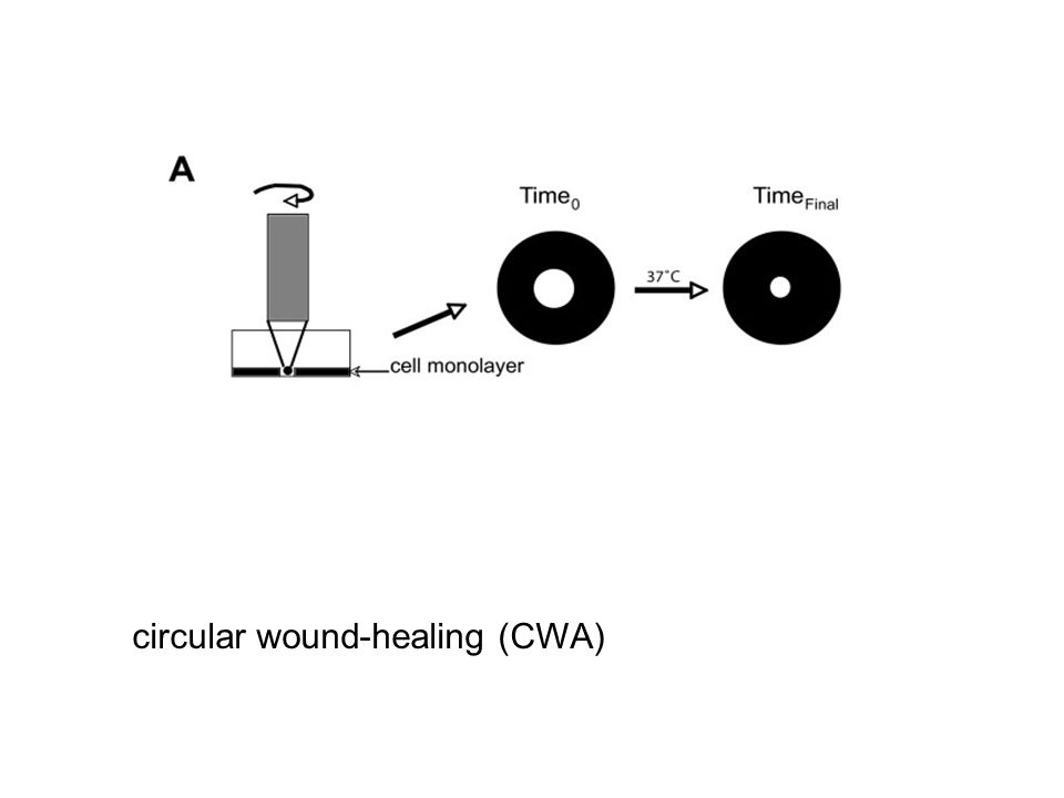 circular wound-healing (CWA)