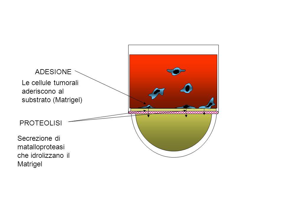 ADESIONE Le cellule tumorali aderiscono al substrato (Matrigel) PROTEOLISI.