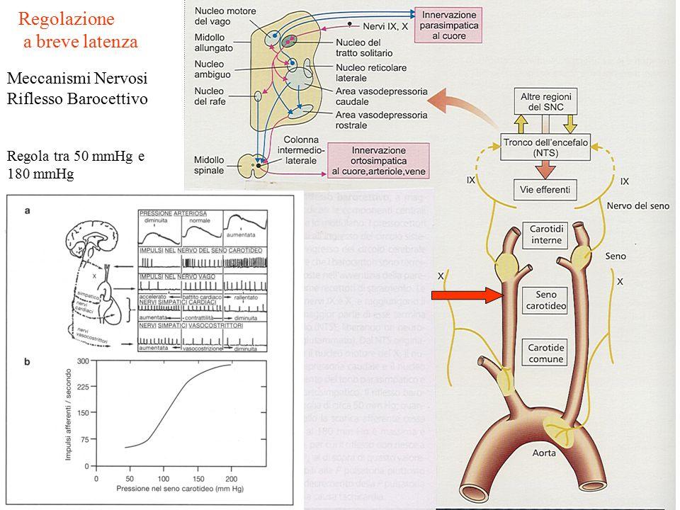 Regolazione a breve latenza Meccanismi Nervosi Riflesso Barocettivo