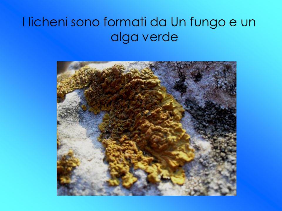 I licheni sono formati da Un fungo e un alga verde