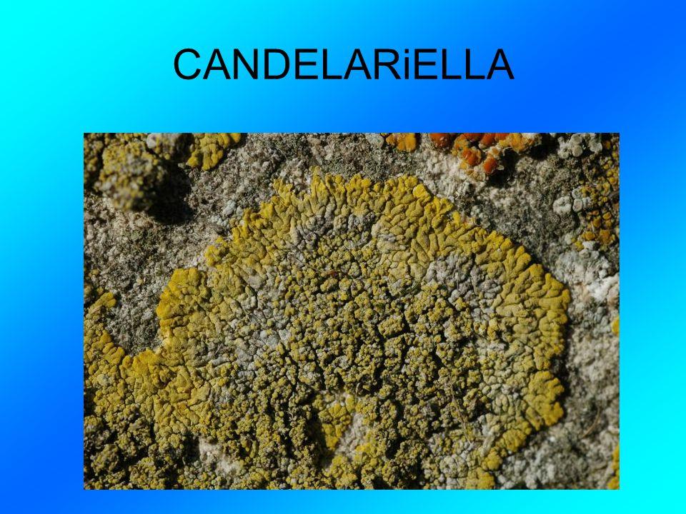 CANDELARiELLA