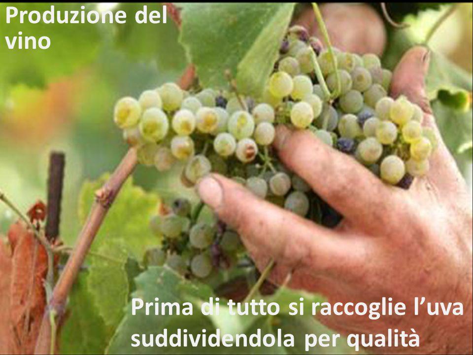 Prima di tutto si raccoglie l'uva suddividendola per qualità