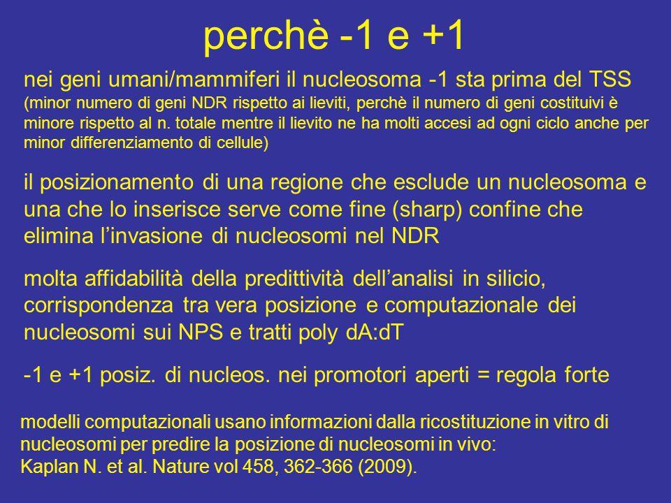 perchè -1 e +1 nei geni umani/mammiferi il nucleosoma -1 sta prima del TSS.