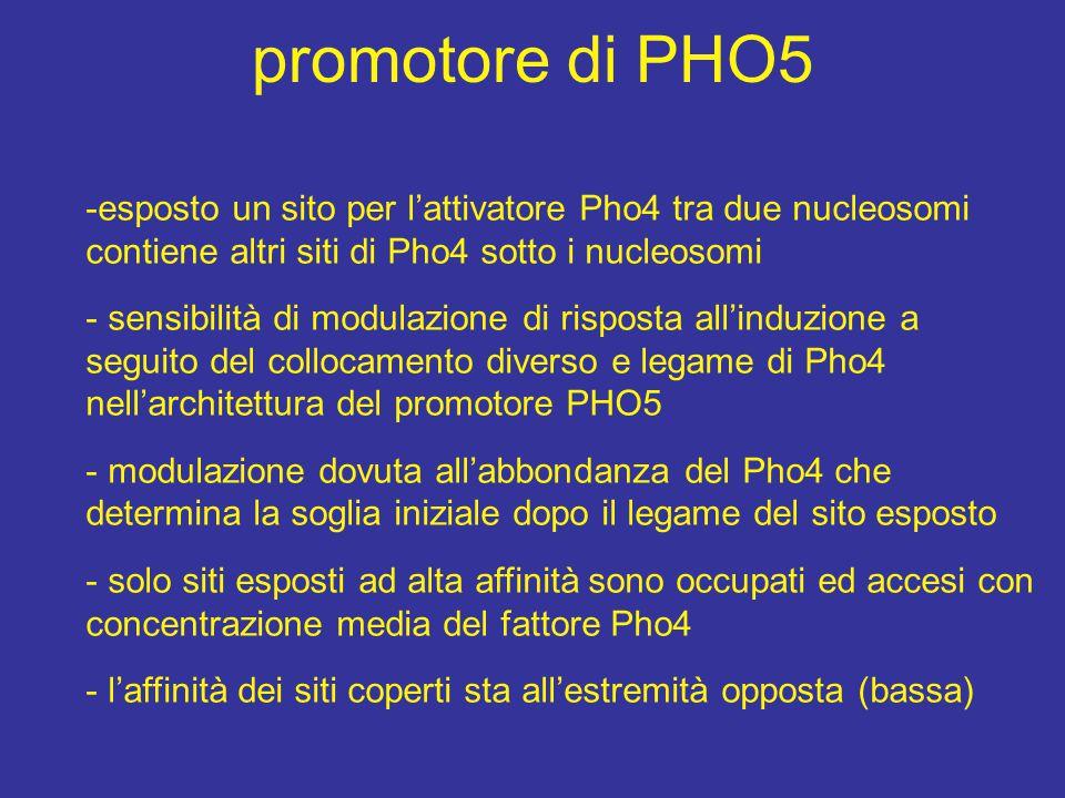 promotore di PHO5 esposto un sito per l'attivatore Pho4 tra due nucleosomi contiene altri siti di Pho4 sotto i nucleosomi.