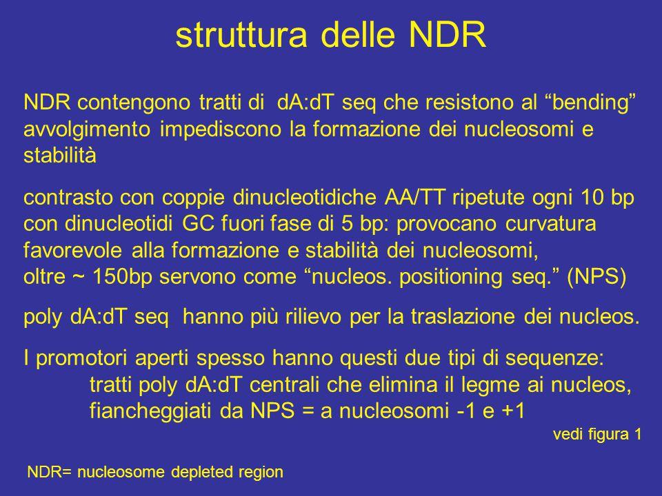 struttura delle NDR NDR contengono tratti di dA:dT seq che resistono al bending avvolgimento impediscono la formazione dei nucleosomi e stabilità.
