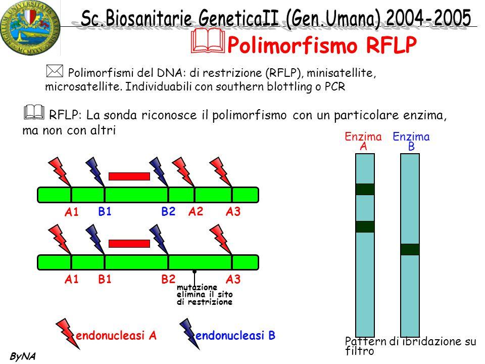 Polimorfismo RFLP Polimorfismi del DNA: di restrizione (RFLP), minisatellite, microsatellite. Individuabili con southern blottling o PCR.