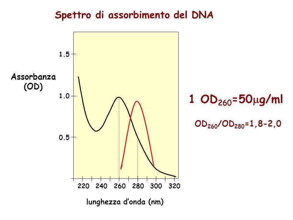 1 OD260=50g/ml Spettro di assorbimento del DNA Assorbanza (OD)
