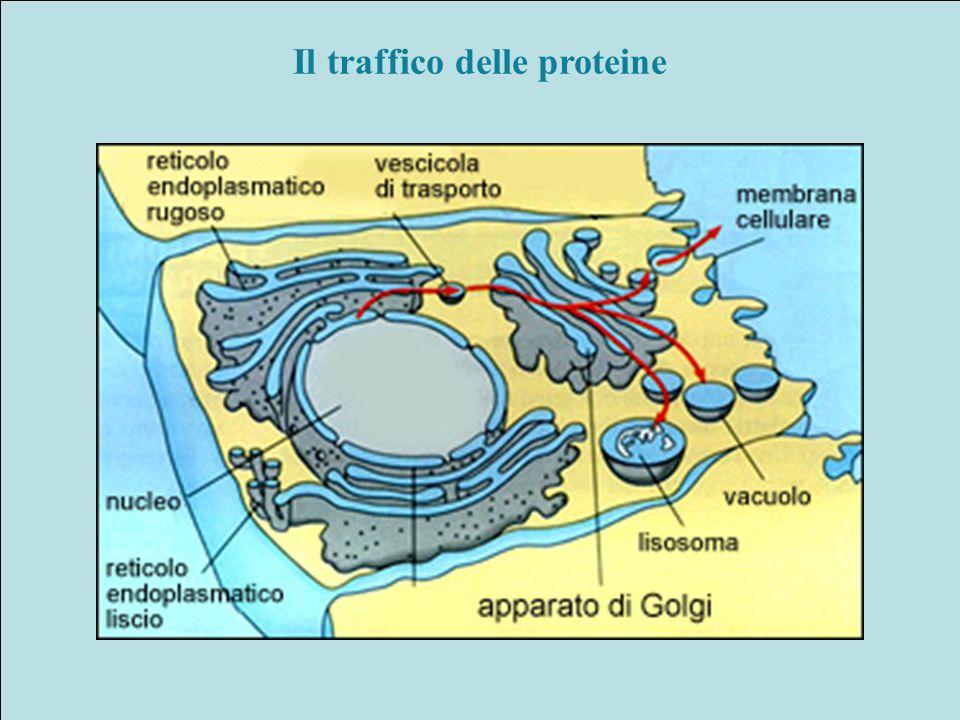 Il traffico delle proteine