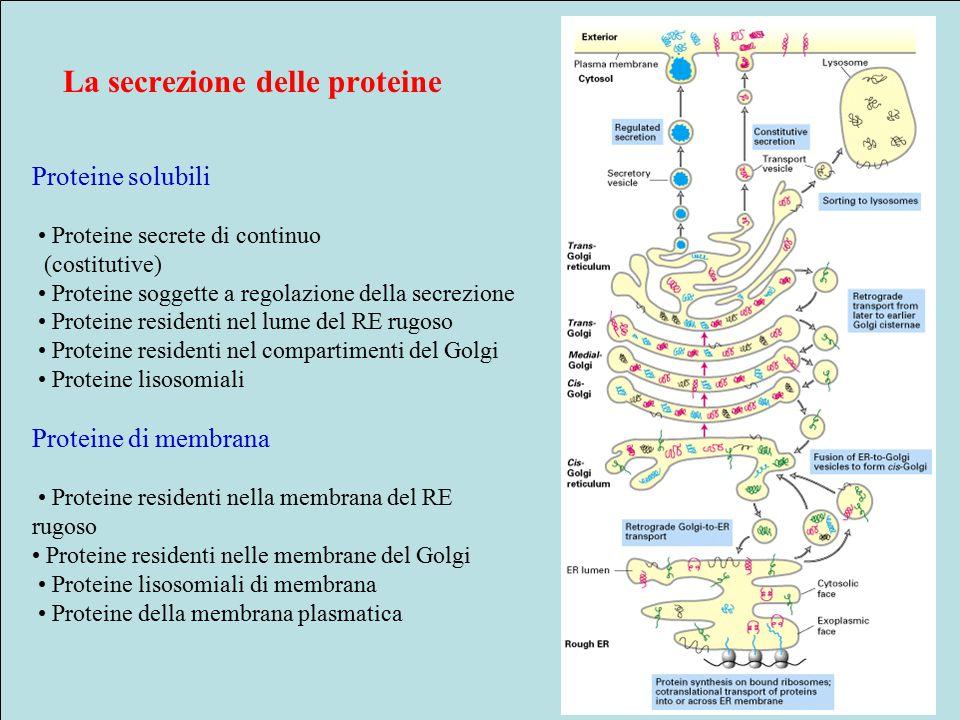 La secrezione delle proteine