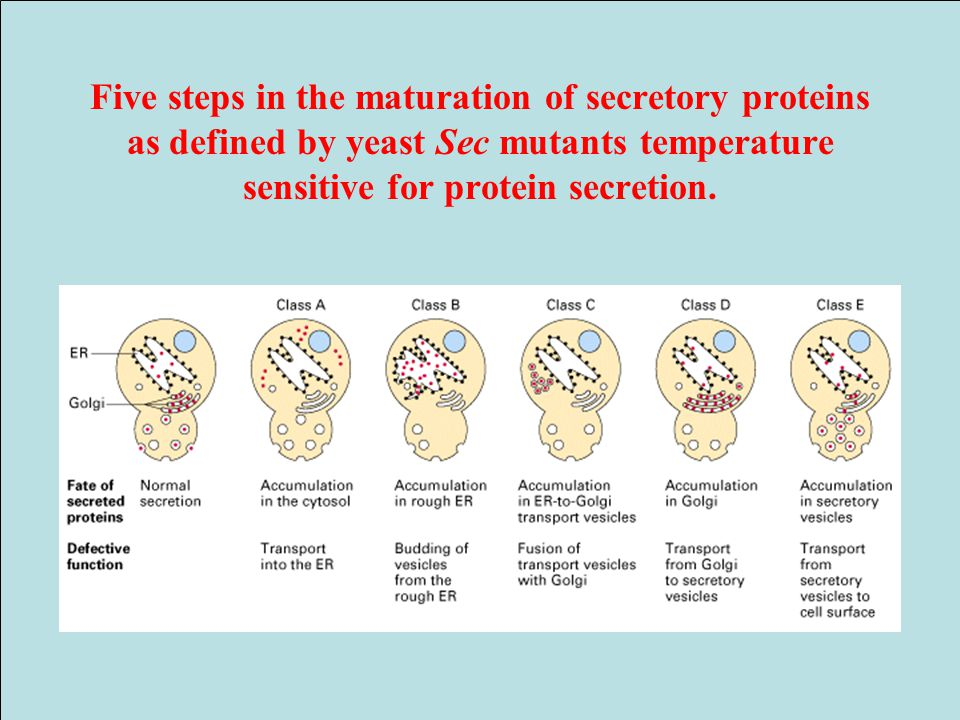 Five steps in the maturation of secretory proteins as defined by yeast Sec mutants temperature sensitive for protein secretion.