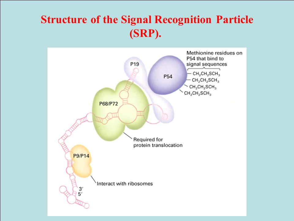 Structure of the Signal Recognition Particle (SRP).