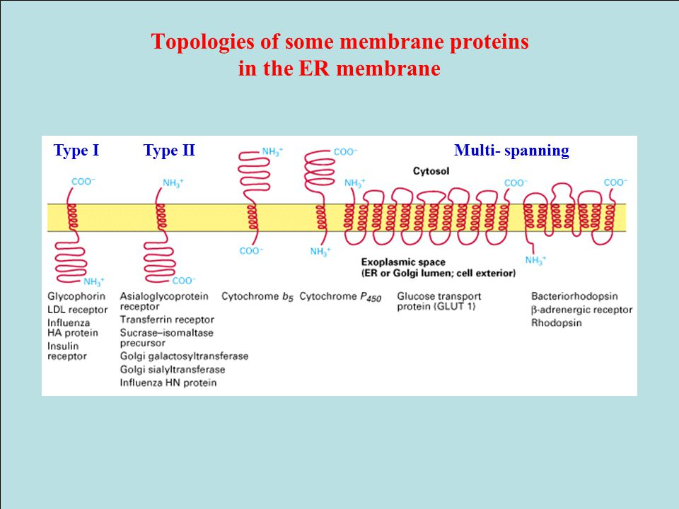 Topologies of some membrane proteins in the ER membrane