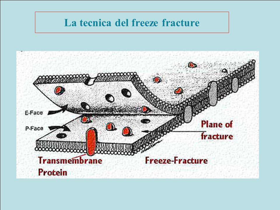 La tecnica del freeze fracture