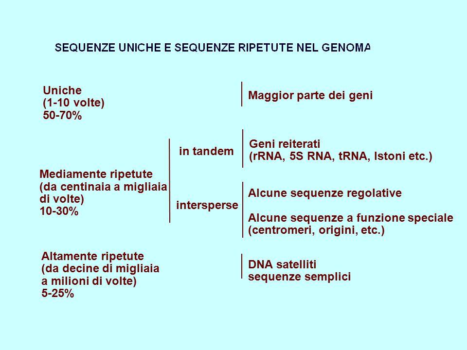 Uniche Maggior parte dei geni. (1-10 volte) 50-70% Geni reiterati. in tandem. (rRNA, 5S RNA, tRNA, Istoni etc.)