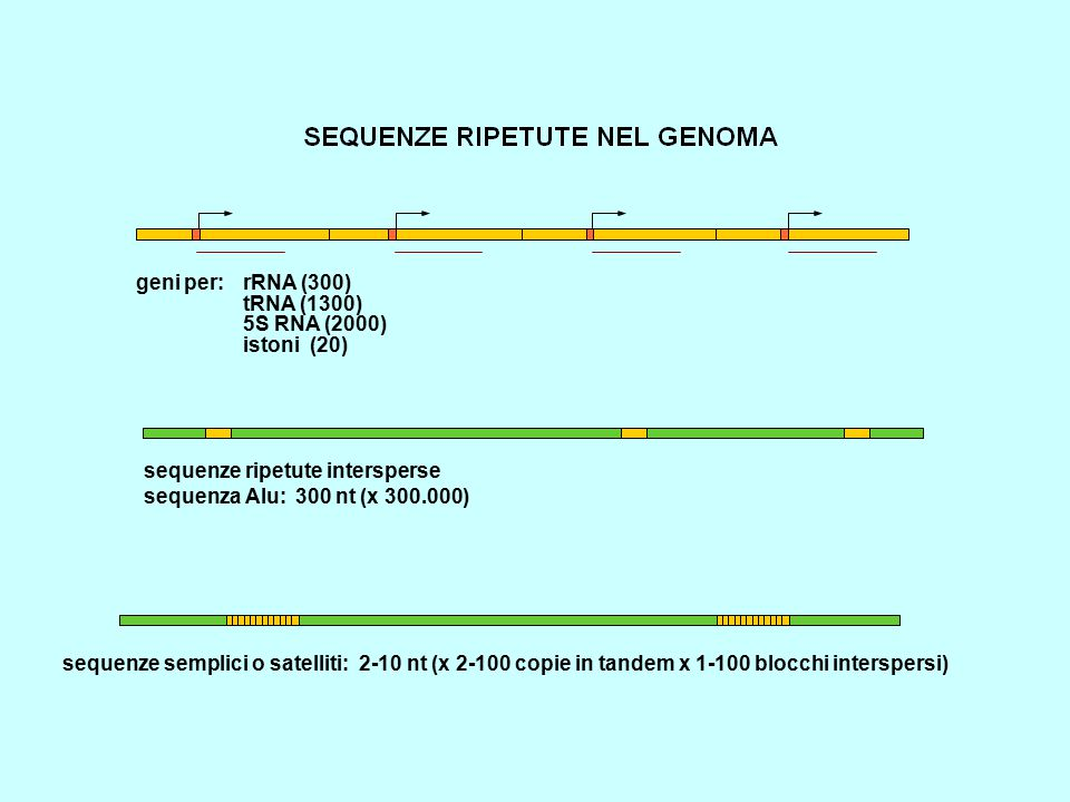 geni per: rRNA (300) tRNA (1300) 5S RNA (2000) istoni (20) sequenze ripetute intersperse. sequenza Alu: 300 nt (x 300.000)