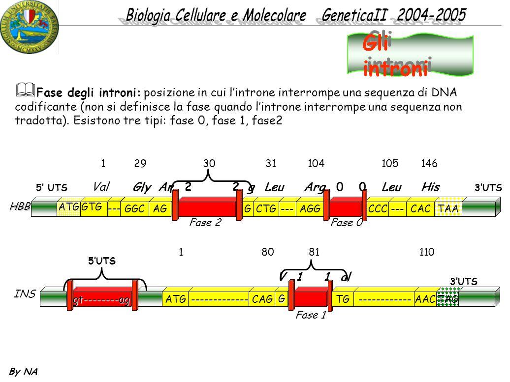 Gli introni Fase degli introni: posizione in cui l'introne interrompe una sequenza di DNA.
