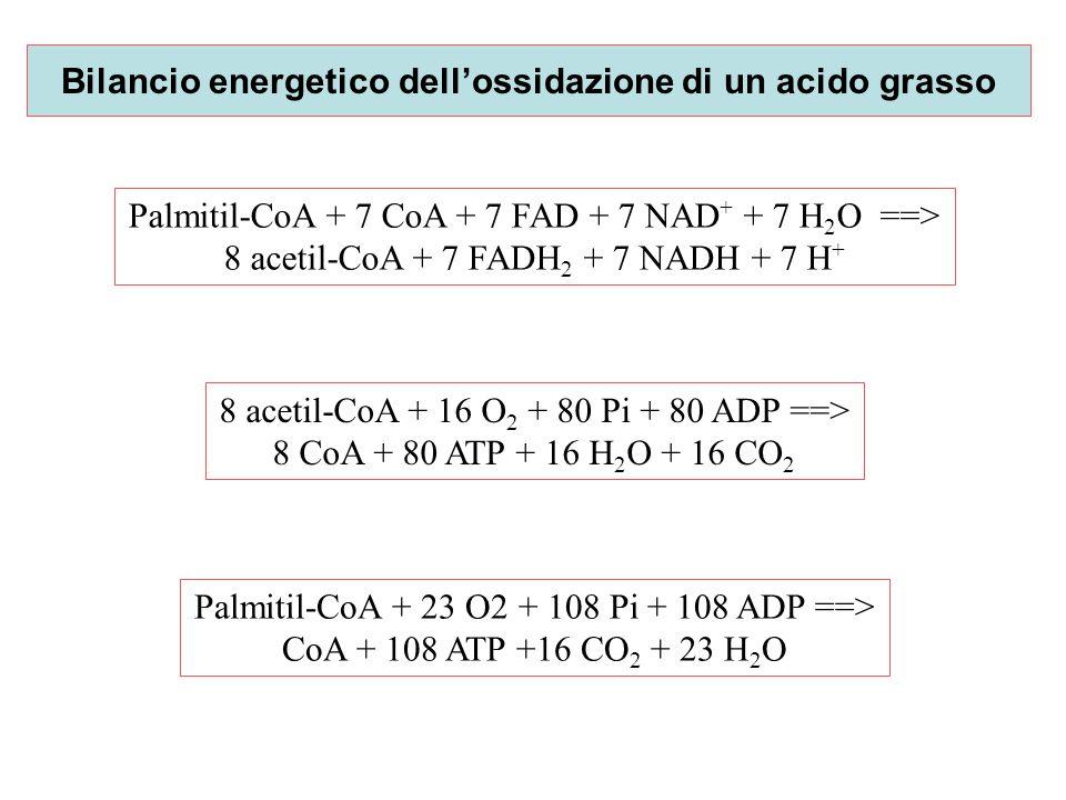 Bilancio energetico dell'ossidazione di un acido grasso