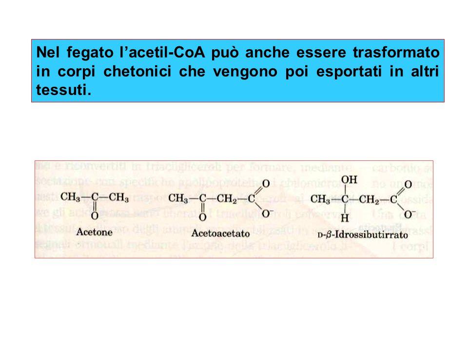 Nel fegato l'acetil-CoA può anche essere trasformato in corpi chetonici che vengono poi esportati in altri tessuti.