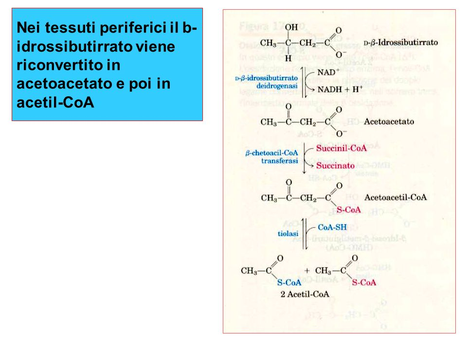 Nei tessuti periferici il b-idrossibutirrato viene riconvertito in acetoacetato e poi in acetil-CoA