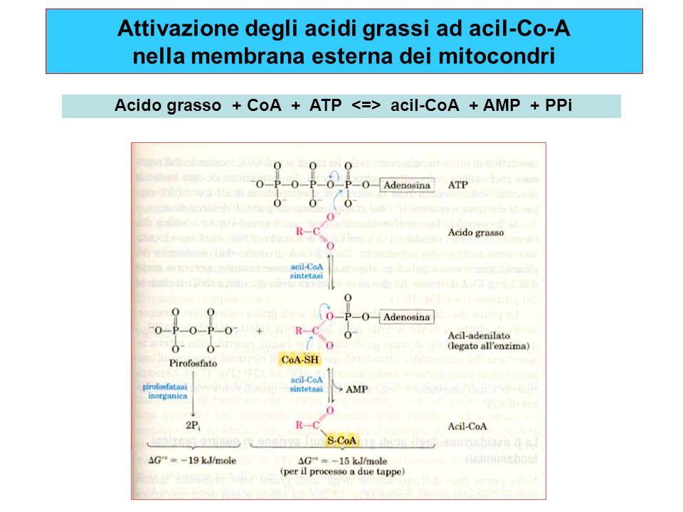 Acido grasso + CoA + ATP <=> acil-CoA + AMP + PPi