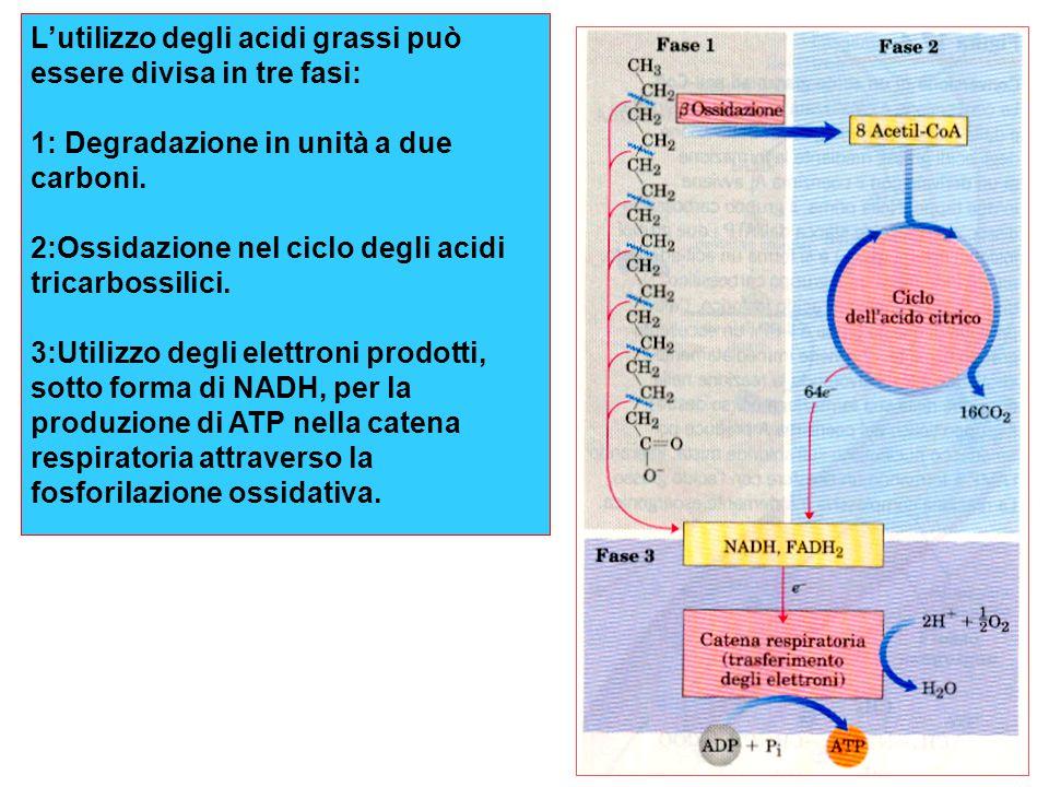 L'utilizzo degli acidi grassi può essere divisa in tre fasi: 1: Degradazione in unità a due carboni.