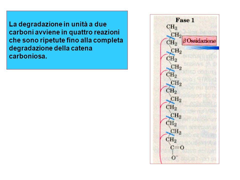 La degradazione in unità a due carboni avviene in quattro reazioni che sono ripetute fino alla completa degradazione della catena carboniosa.