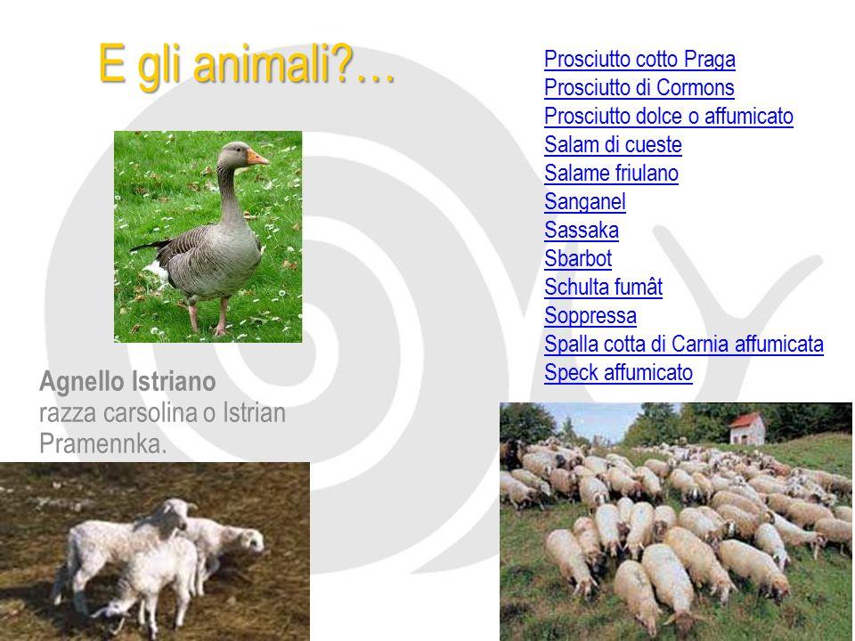 E gli animali … Agnello Istriano razza carsolina o Istrian Pramennka.