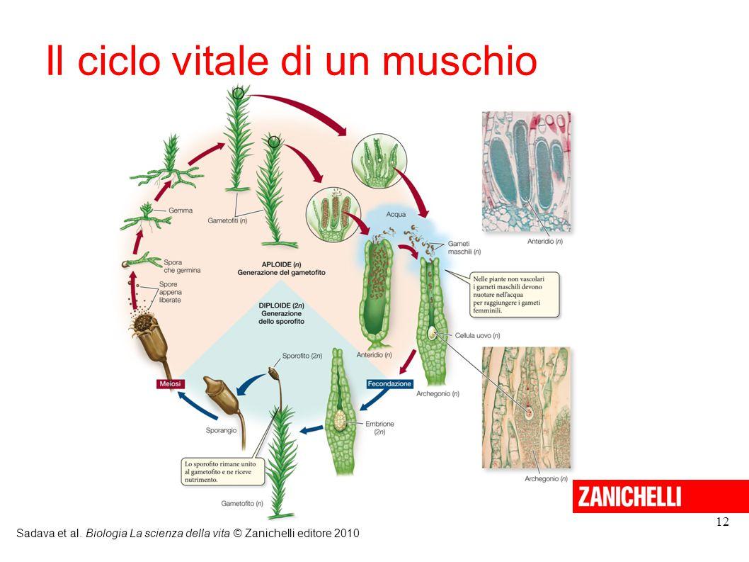 Il ciclo vitale di un muschio