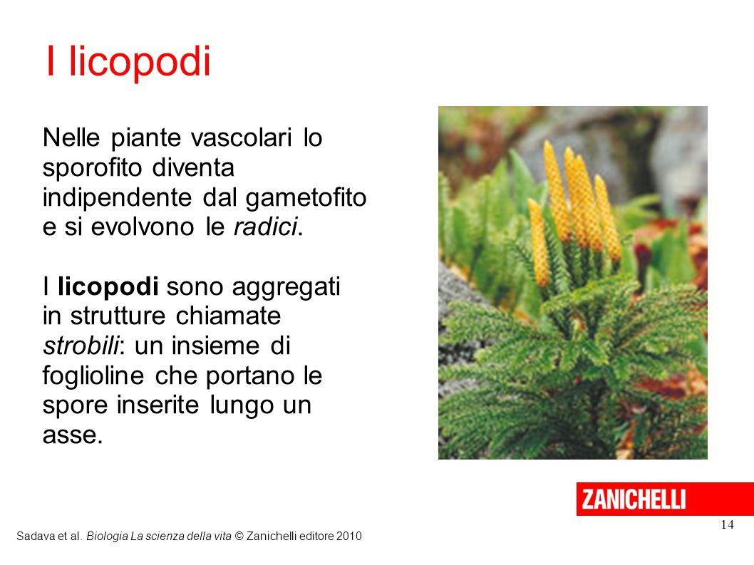 I licopodi Nelle piante vascolari lo sporofito diventa indipendente dal gametofito e si evolvono le radici.