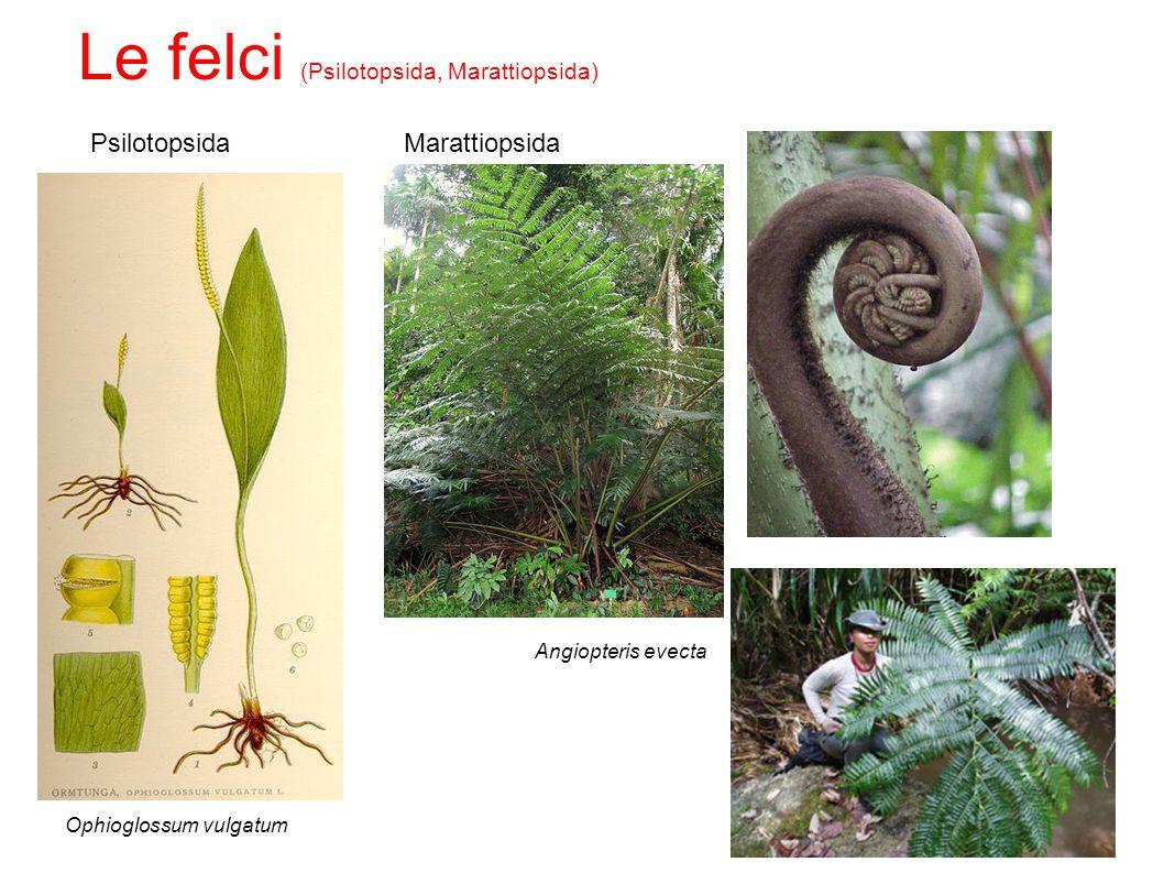 Le felci (Psilotopsida, Marattiopsida)