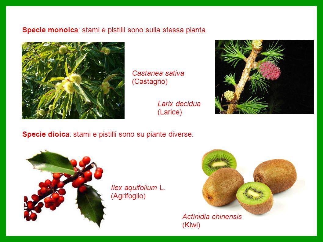 Specie monoica: stami e pistilli sono sulla stessa pianta.