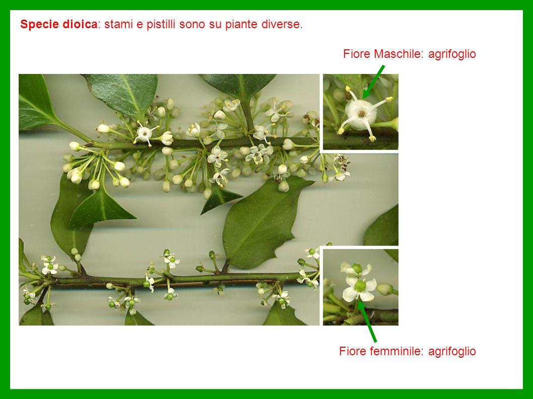 Specie dioica: stami e pistilli sono su piante diverse.