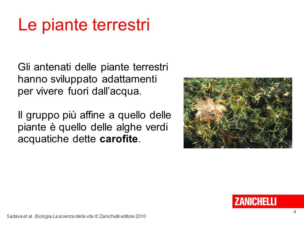 Le piante terrestri Gli antenati delle piante terrestri hanno sviluppato adattamenti per vivere fuori dall'acqua.