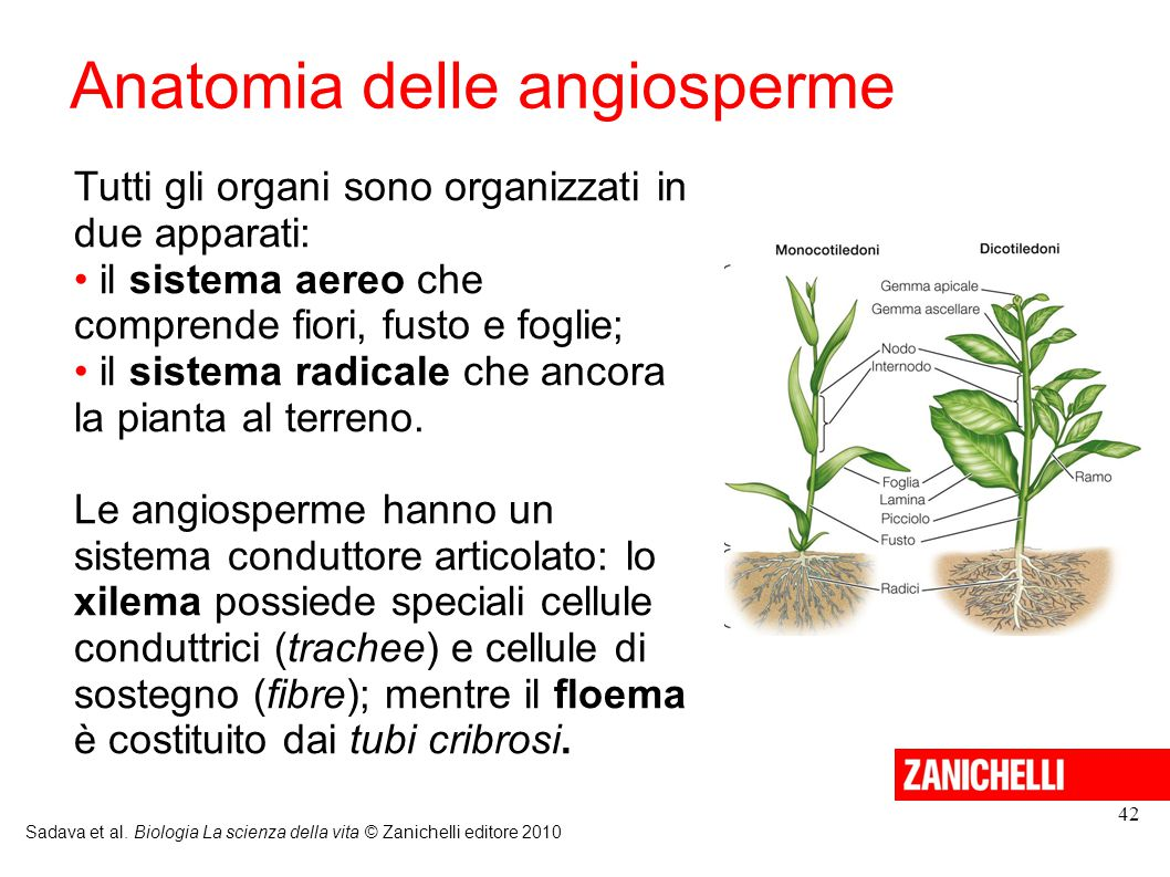 Anatomia delle angiosperme
