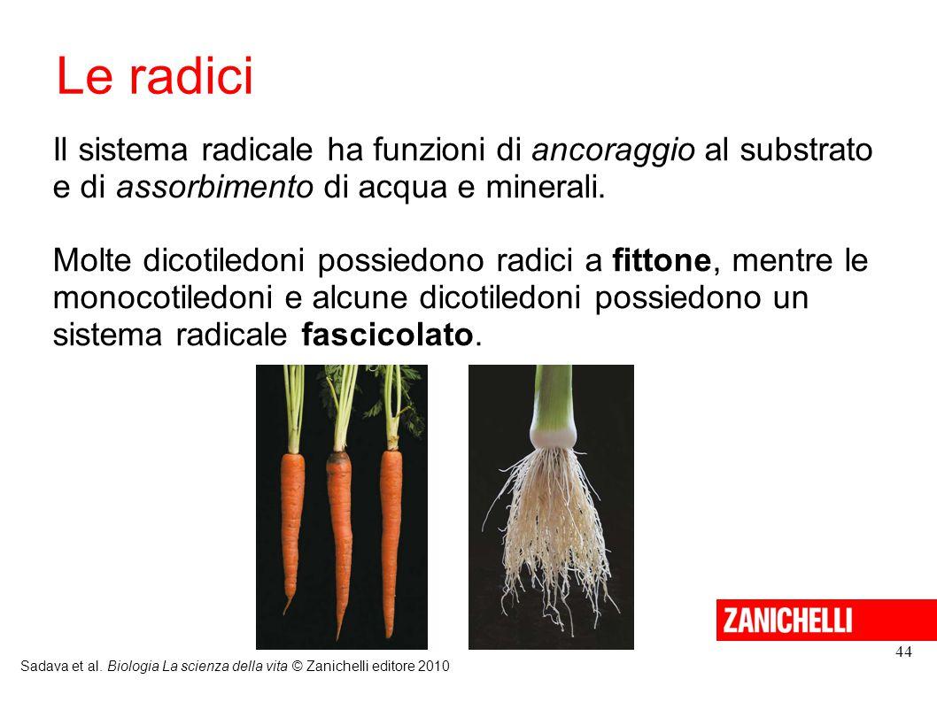 Le radici Il sistema radicale ha funzioni di ancoraggio al substrato e di assorbimento di acqua e minerali.