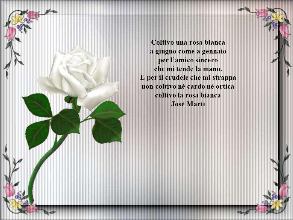 Coltivo una rosa bianca a giugno come a gennaio per l'amico sincero