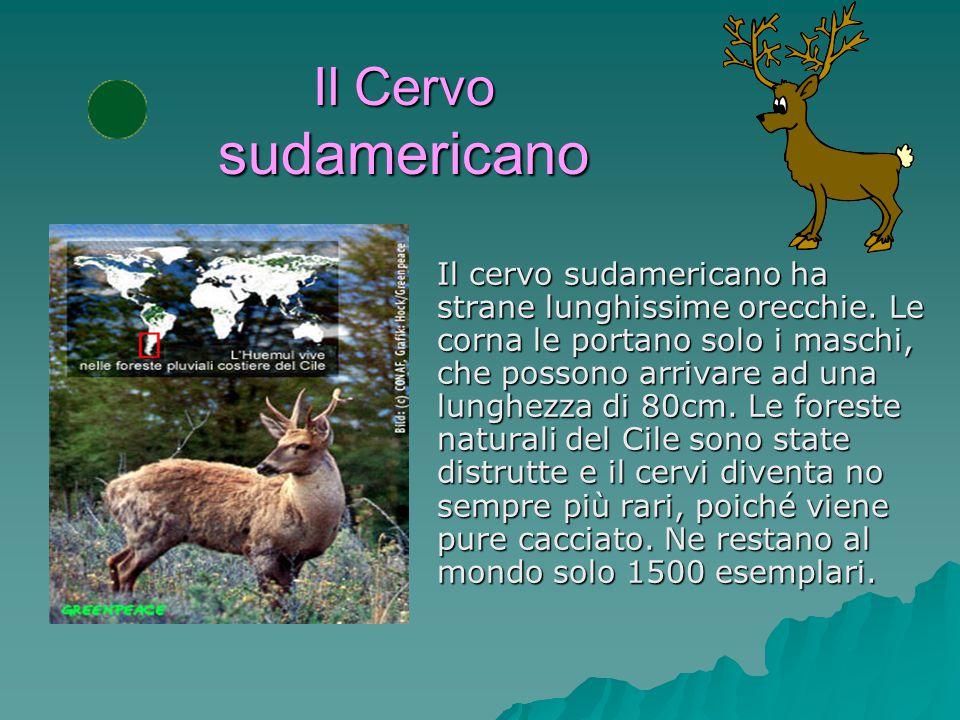 Il Cervo sudamericano