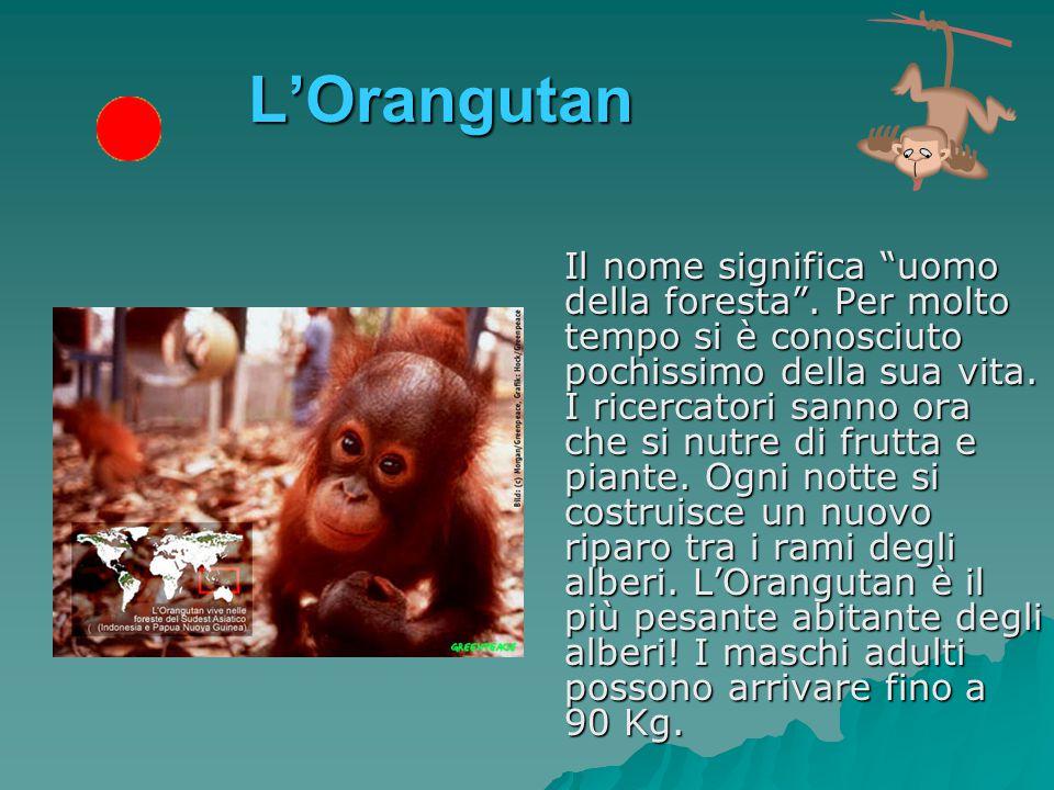 L'Orangutan