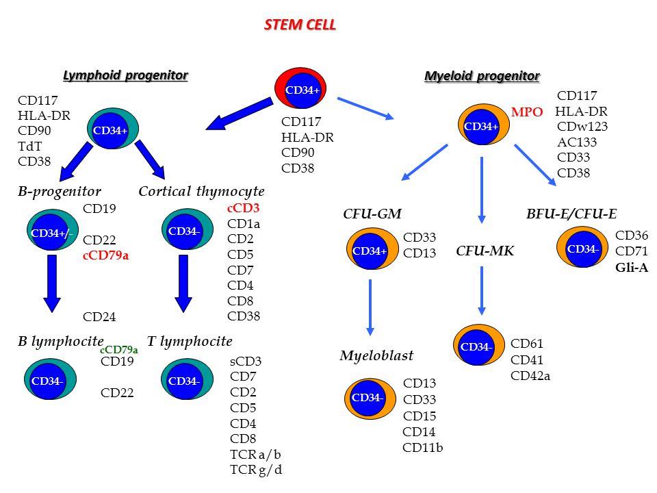 STEM CELL Lymphoid progenitor B-progenitor B lymphocite